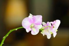 Purpurfärgad och vit orkidéblomma Royaltyfria Bilder