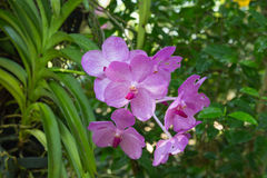 Purpurfärgad orchid Arkivfoton