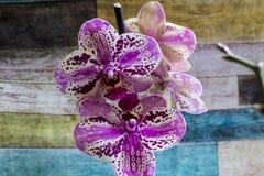 Purpurfärgad orchid royaltyfria bilder