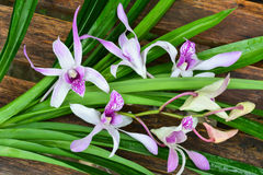 Purpurfärgad orchid Royaltyfri Bild