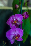 Purpurfärgad orchid Arkivfoto