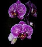 Orchid Royaltyfri Bild