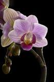 Purpurfärgad Orchid, svart bakgrund Royaltyfri Fotografi