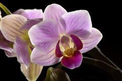 Purpurfärgad Orchid, svart bakgrund Royaltyfri Bild
