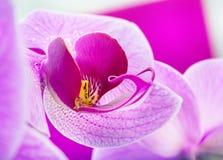 Orchidblomma Arkivfoto