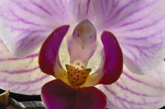 Purpurfärgad OrchidCloseup Royaltyfri Fotografi