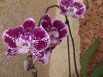 Purpurfärgad orchideja Royaltyfri Bild