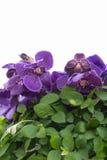 Purpurfärgad orkidé Arkivfoton