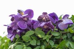Purpurfärgad orkidé Royaltyfri Fotografi
