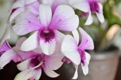 Purpurfärgad orkidé. Royaltyfri Fotografi
