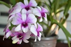 Purpurfärgad orkidé. Fotografering för Bildbyråer