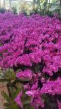 Purpurfärgad orkidé, blommafestival Arkivfoton