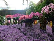 Purpurfärgad orkidé, blommafestival Royaltyfri Foto