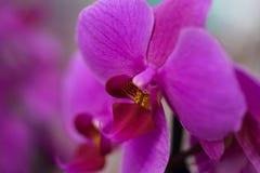 Purpurfärgad orkidé för blomma, närbild, bakgrund fotografering för bildbyråer