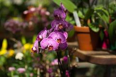 Purpurfärgad orkidé i botaniska trädgården royaltyfria bilder
