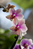 Purpurfärgad orkidé i botaniska trädgården arkivfoton