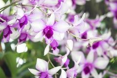 Purpurfärgad orkidé i trädgården Fotografering för Bildbyråer