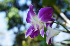 Purpurfärgad orkidé i trädgårds- suddighetsbakgrund Arkivfoto