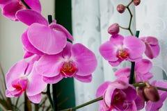 Purpurfärgad orkidé med knappar i ljust rum arkivfoton