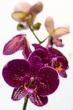 Purpurfärgad orkidé på en vit bakgrund Royaltyfri Fotografi