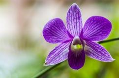 Purpurfärgad orkidé på grön bakgrund Arkivbild