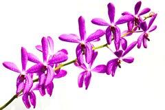 Purpurfärgad orkidé på vit bakgrund Fotografering för Bildbyråer