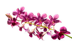 Purpurfärgad orkidé som isoleras på en vit bakgrund Royaltyfria Bilder