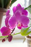 Purpurfärgad orkidéblomblomma exotisk houseplantblomning dekorativt eller prydnad för design arkivbild