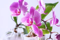 Purpurfärgad orkidéblomblomma exotisk houseplantblomning dekorativt eller prydnad för design royaltyfri bild