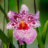 Purpurfärgad orkidéblomma Arkivfoto