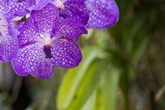 Purpurfärgad orkidéblomma för Closeup i trädgården Arkivfoton