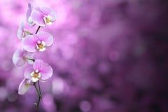 Purpurfärgad orkidéblomma med den snabba banan Arkivbild