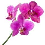 Purpurfärgad orkidéblomma på stammen som isoleras på vit bakgrund, designen för SPA eller tropiskt naturligt begrepp royaltyfria bilder