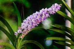 Purpurfärgad orkidéblomma Rhynchostylis Royaltyfri Fotografi