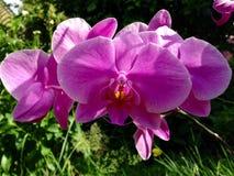 Purpurfärgad orkidéblommanatur Arkivbild