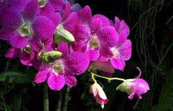 Purpurfärgad orkidégrupp Fotografering för Bildbyråer