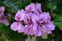 Purpurfärgad otålig hängande växt Royaltyfria Bilder