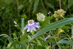Purpurfärgad passion bor i gräsplan Royaltyfria Bilder