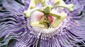 Purpurfärgad passionblomma och det metalliska gröna biet Fotografering för Bildbyråer