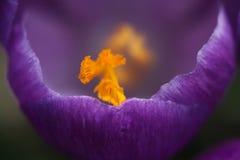 Purpurfärgad passionkrokusblomning Royaltyfri Foto