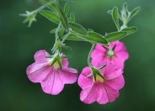 Purpurfärgad petunia Arkivbilder