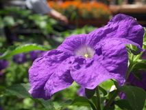 Purpurfärgad petunia Royaltyfri Fotografi