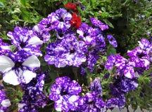 Purpurfärgad petunia, natthimmel arkivbild