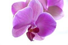 Purpurfärgad Phalaenopsisorkidéblomma Arkivfoto