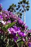 Purpurfärgad prinsessa Flowers i Orlando Royaltyfria Foton