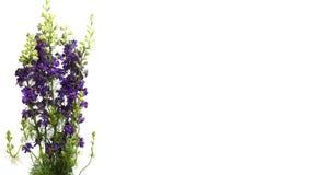 Purpurfärgad riddarsporre (riddarsporresp ) blommaTime-schackningsperiod stock video
