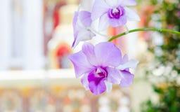 Purpurfärgad rosa orkidé från Singapore nationell orkidéträdgård royaltyfri foto