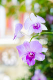 Purpurfärgad rosa orkidé från Thailand royaltyfria foton