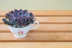 Purpurfärgad rosa suckulent växt i gullig kopp royaltyfria foton