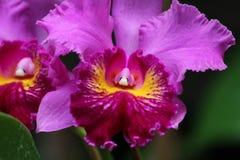 Purpurfärgad sällsynt orkidé Arkivfoto
